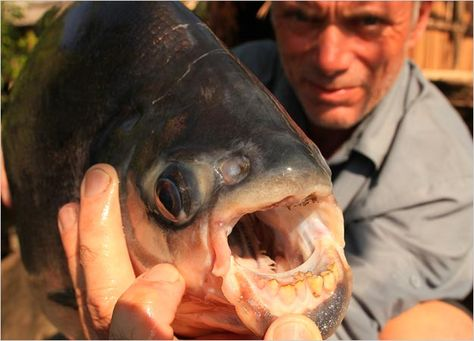 Red-Bellied Pacu, the piranha's vegetarian (usually anyway) cousin. It's teeth closely resemble human teeth. Creepy in the extreme.