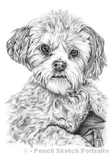 Pencil Drawing Of Shih Tzu Bichon Frise Cross Shihtzublack Dog Coloring Page Dog Sketch Dog Drawing