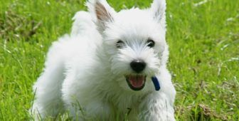 30 Small Hypoallergenic Dogs That Don T Shed Tiny Dog Breeds