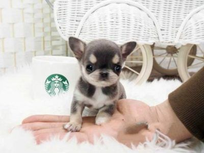 All Puppies For Sale Microteacups Teacup Puppies Puppies