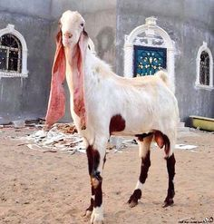 Image Result For Gulabi Goat Bizarre Animals Unusual Animals Weird Animals Gulabi goats are most costly attractive and beautiful breed found in pakistan. gulabi goat bizarre animals