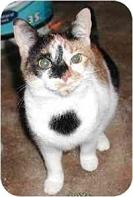 Pictures Of Jiffie A Special Needs Seniorbdomestic Shorthair For Adoption At Pet Adoption Cats Kittens Cats