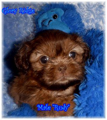 Red Liver Rudy From Glory Ridge Shih Tzu Shih Tzu Therapy Dogs Animal Companions