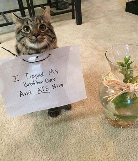 34 Examples Of Cat shaming From The Hall Of Shame Funny Animal Memes, Cute Funny Animals, Cat Memes, Funny Cute, Cute Cats, Animal Humour, Funniest Animals, Cat Fun, Adorable Kittens