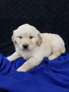 Dogs And Puppies For Sale Adoption In 2020 Dogs Golden Retriever Puppies For Sale