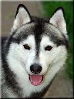 Colors Of Siberian Huskies Husky Dogs Nature Animals
