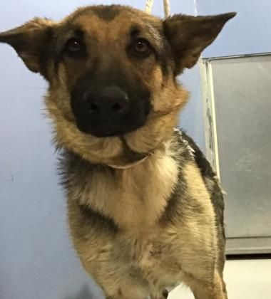 Animal Id 38448136 Species Dog Breed German Shepherd Mix Age 1 Year 1 Day Gender Female Size Large Color Black Tan