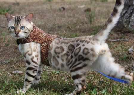 Seal Lynx Point Snow Bengal Bengal On Harness Bengal Going For
