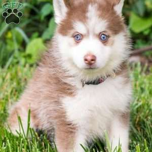 Alice Pomsky Puppy For Sale In Ohio With Images Pomsky Puppies Pomsky Dog Pomsky Puppies For Sale