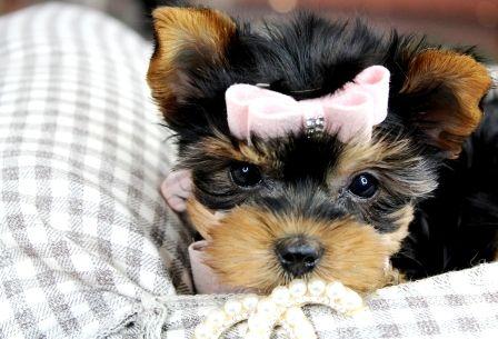 Teacup Yorkies Cute Teacup Puppies Teacup Puppies Teacup Puppies For Sale