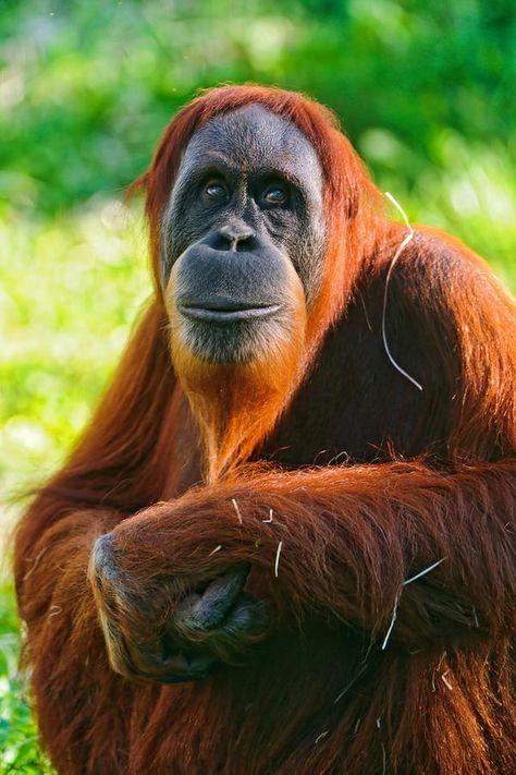 The critically endangered Orangutan