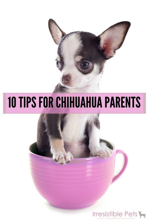 Chihuahua's are so spoilt we forget they are actually our pets and get upset when they are naughty!