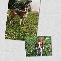 Naples Florida Labrador Retriever Meet Rudolf A For Adoption Https Www Adoptapet Com Pet 24233430 Naples Florida Labrador Retriever