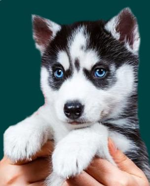 Pomsky Puppies For Sale Australia Cute Cats Dogs Healthiest