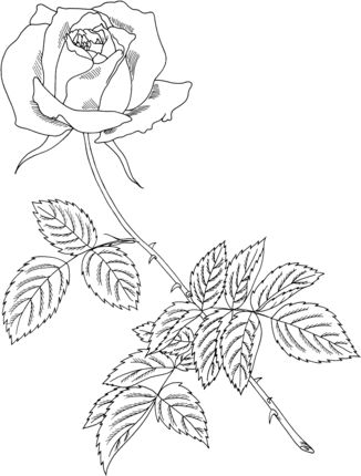 Majesteleri Gul Boyama Rose Coloring Pages Coloring Pages