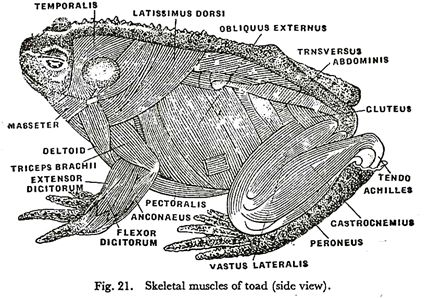 Toad Anatomy Side View Frog Illustration Toad Zoology