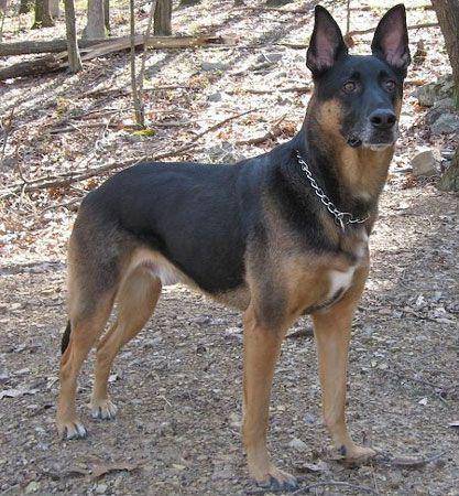 German Shepherd Mixed With Doberman Google Search Mit Bildern