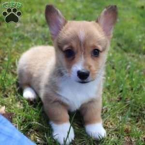 Dexter Pembroke Welsh Corgi Puppy For Sale In Ohio With Images Welsh Corgi Puppies Pembroke Welsh Corgi Puppies Corgi