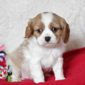 Cavalier King Charles Spaniel Puppy For Sale In Gap Pa Adn 61390 On Puppyf Spaniel Puppies For Sale King Charles Cavalier Spaniel Puppy Cavalier King Charles