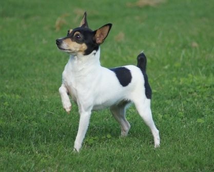 Toy Fox Terrier Dogs Care And Training Rat Terrier Dogs Fox