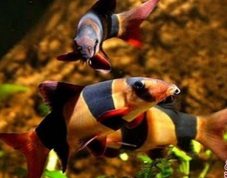 Ikan Hias Botia Dipamerkan Di Pekan Kelompok Tani Dan Nelayan Ikan Akuarium Ikan Akuarium