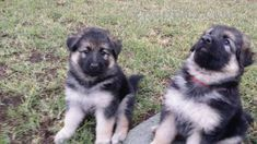 German Shepherd Dog German Shepherd Dog Puppies For Sale 1327