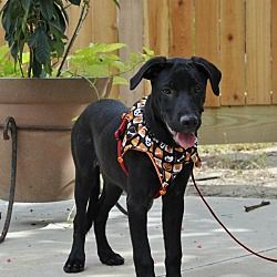 Pictures Of Tuvi A Labrador Retriever For Adoption In Houston Tx Who Needs A Loving Home Pet Adoption Labrador Retriever Poor Dog