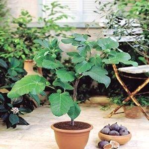 Feigenbaum 1 Baum Gartenbau Gartenliebe Gartenideen Gartenkunst Gartent Trend Plants Garten Ideen Garten