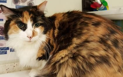 Luna Is A 4 Year Old Domestic Medium Hair Cat Cats Animals 4 Year Olds