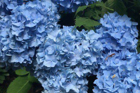 Why Doesn T My Hydrangea Bloom Hydrangea Not Blooming Hydrangea Bloom Big Leaf Hydrangea
