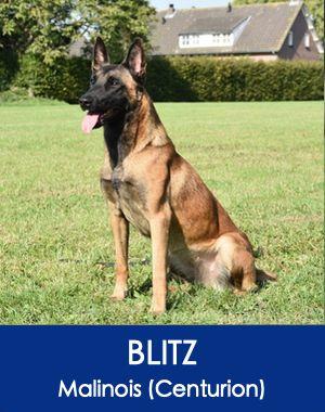 Trained German Shepherd Belgian Malinois Protection Dogs Dogs