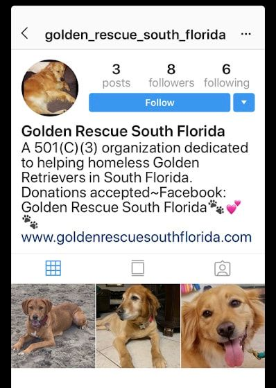 Golden Rescue South Florida Available Goldens Dogs Rescue South Florida