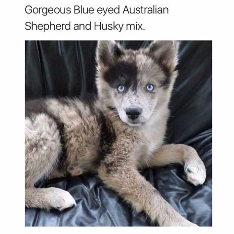 Pin By Danielle Baughman On Animals Australian Shepherd Husky Husky Mix Australian Shepherd
