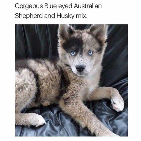 Pin By Danielle Baughman On Animals Australian Shepherd Husky Husky Mix Australian Shepherd