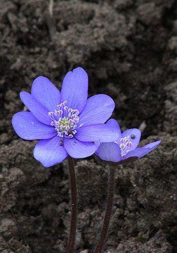 Przylaszczka Pospolita Plants Botany Crafts
