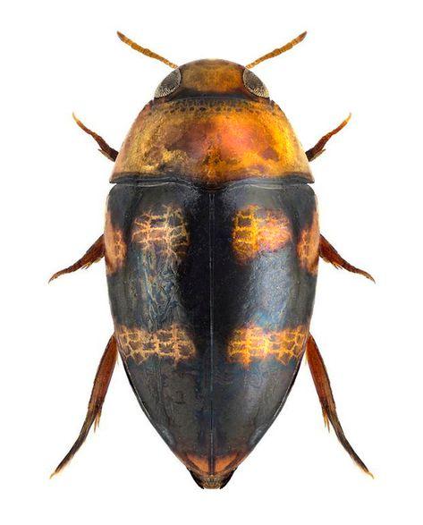 Canthydrus laetabilis