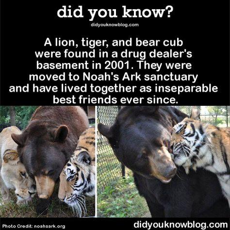 Best Noahs Ark Sanctuary Images On Pinterest Noah Ark - Lion tiger bear best friends