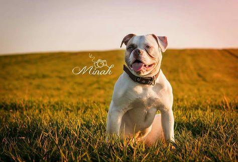 Amerikanische Bulldogge Malibu Amerikanische Bulldogge