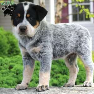 Blue Heeler Puppies For