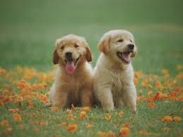 Thing 1 Thing 2http Bit Ly 2whhy7q Retriever Puppy Puppies