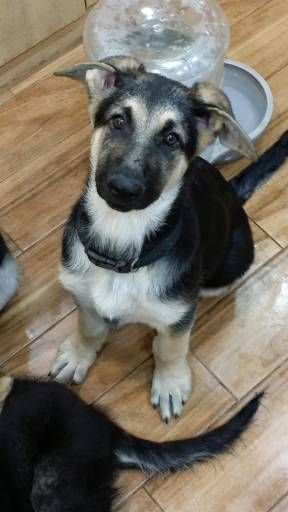 Find Your Dream Puppy Of The Right Dog Breed At Dog Breeds That Dont Shed German Shepherd Dogs Dog Breeds
