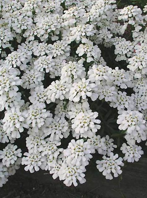 Iberis Purity Candytuft Flowers Perennials Landscaping With Rocks Perennials
