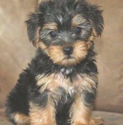 Mini Teddy Bear Puppies Also Known As Teacup Teddy Bear Puppies