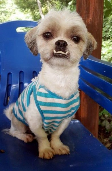 Shih Tzu And Yorkshire Terrier Mixed Dog For Adoption In Toronto