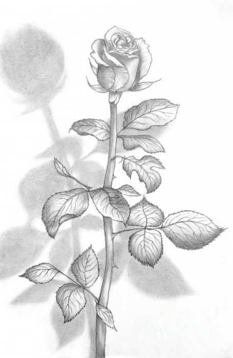 Pencil Drawn Rose Google Search Roses Drawing Flower Drawing Plant Drawing