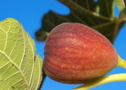 11 Different Types Of Fig Trees Plus Interesting Facts In 2020 Fig Tree Types Fig Tree Fig