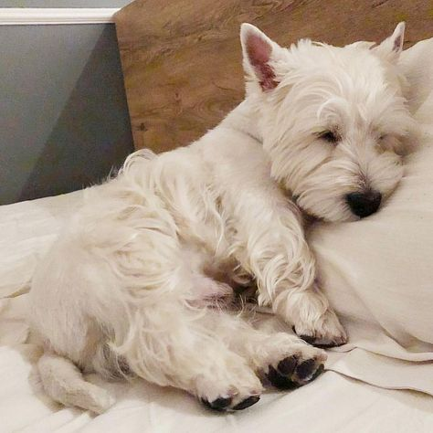 Westie Puppies, Yorkie Dogs, Westies, Cute Puppies, Dogs And Puppies, Doggies, West Highland Terrier, Australian Shepherds, Funny Dogs