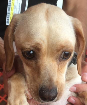 Animal Id 39553592 Species Dog Breed Chihuahua Short Coat Mix Age