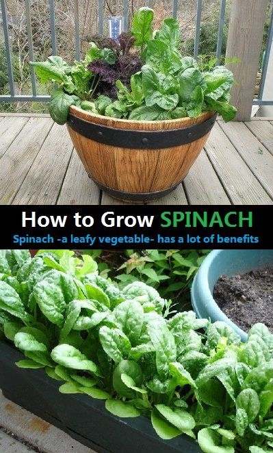 How To Grow Spinach Has A Lot Of Benefits Vegetable Farming Growing Spinach Green Leafy Vegetable