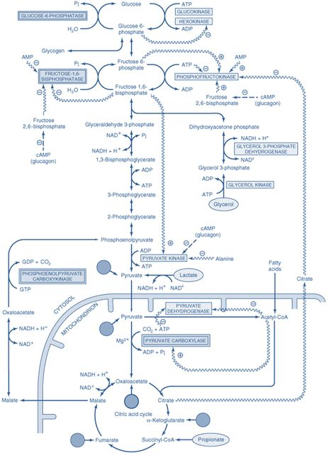 Barriers of gluconeogenesis